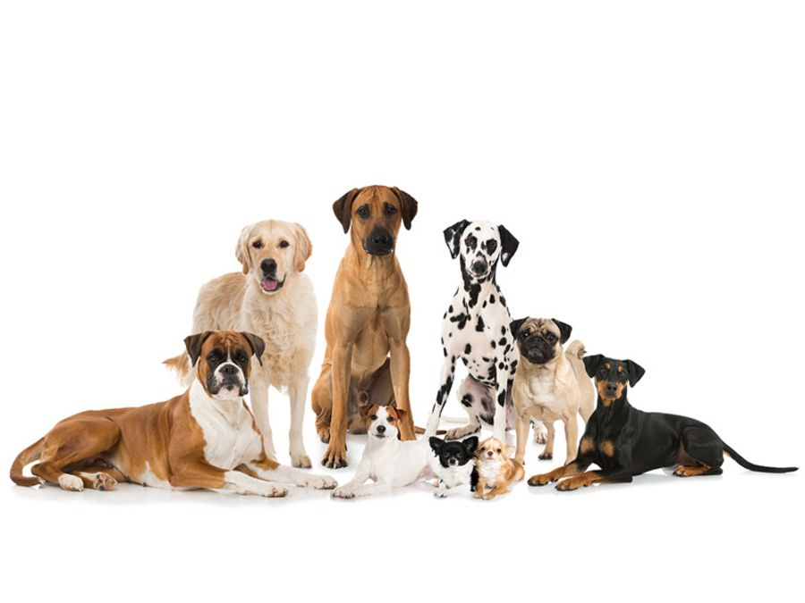 Which breed is best suited to being an office dog?